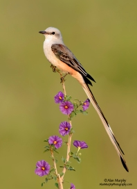 Top-12-Bird-Photographers-in-the-World-Alan-Murphy-Scissor-tailed-Flycatcher-20