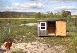 Chicken and shed